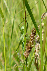 Great Green Bush-cricket (Tettigonia viridissima) male hiding behind a grass stalk ...