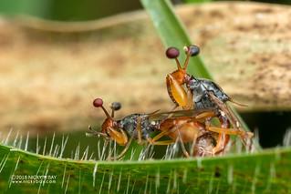 Stalk-eyed flies (Diopsidae) - DSC_3514