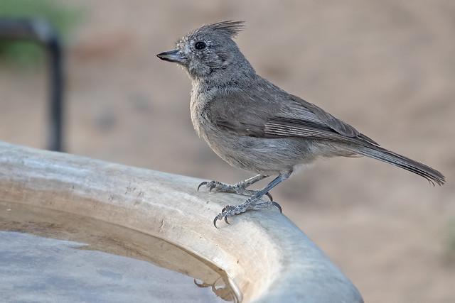 Juniper-Titmouse-33-7D2-062818