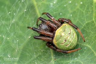 Orb weaver spider (Neoscona rufipalpis) - DSC_4429