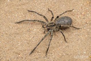 Wandering spider (Ctenidae) - DSC_4692