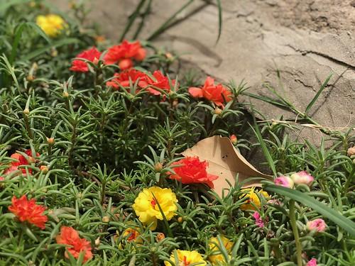 City Nature - The Magic of Portulaca Flowers, Lodhi Gardens