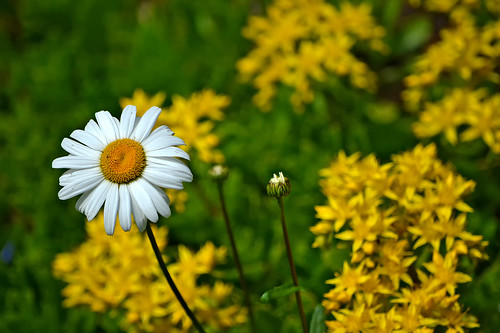 And a wonderful daisy, queen of summer again! 🌻 Finland, Summer 2018.