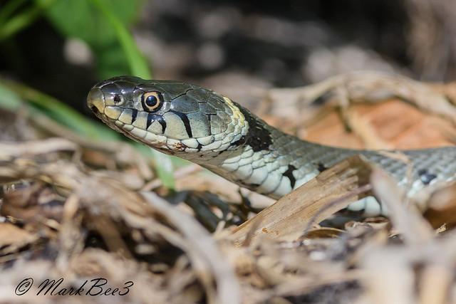 Grass snake, Nikon D500, AF-S VR Nikkor 300mm f/2.8G IF-ED