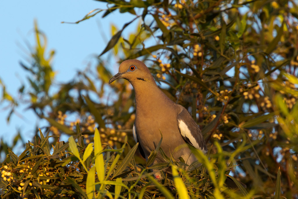 A white-winged dove perches in a tree near sunset