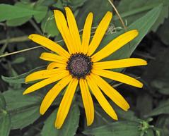Rudbeckia hirta (black-eyed susan) (Newark, Ohio, USA) 2