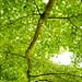 Siebold's Maple at Westonbirt Arboretum.