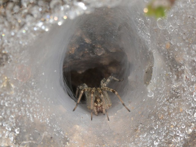 Funnel Web Weaver spider on its web