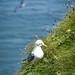 Seabird at Bempton Cliffs