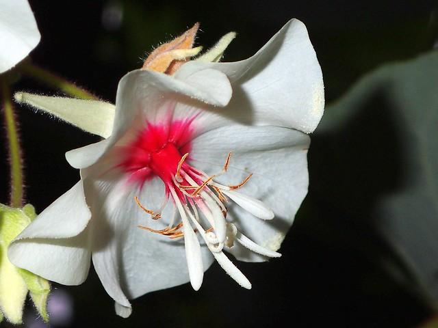 Hochzeitsblume