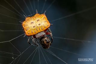 Kite biscuit orb weaver (Isoxya tabulata) - DSC_2370