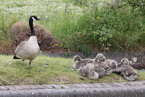 Cuddle party (goslings)