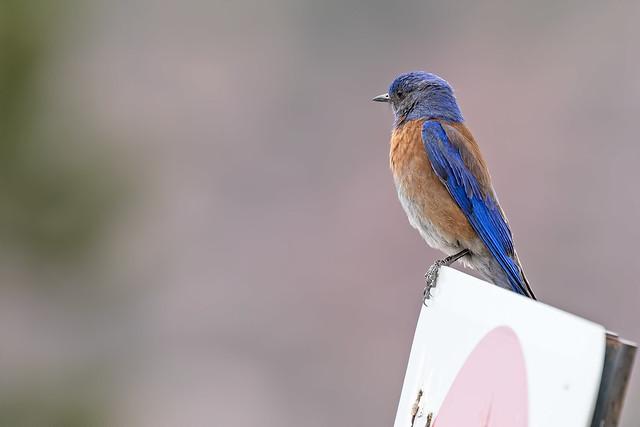 Western-BlueBird-56-7D2-061318