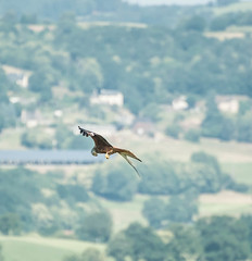 DSC_2466.jpg Red Kite with prey, Cantal France