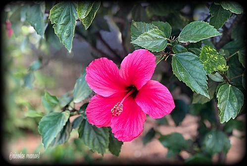 Siempre con Flores. Buenos dias #iPhoneX #iphonephotography #iphonefotos #pintofotografia #flores #adelfas