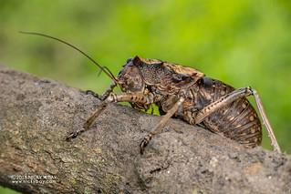 Armored katydid (Enyaliopsis petersi) - DSC_6241