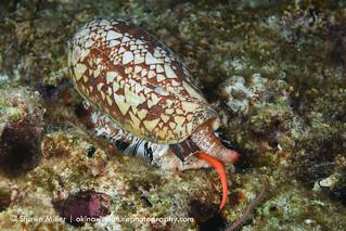 Princely cone shell - Hazardous marine life of Okinawa