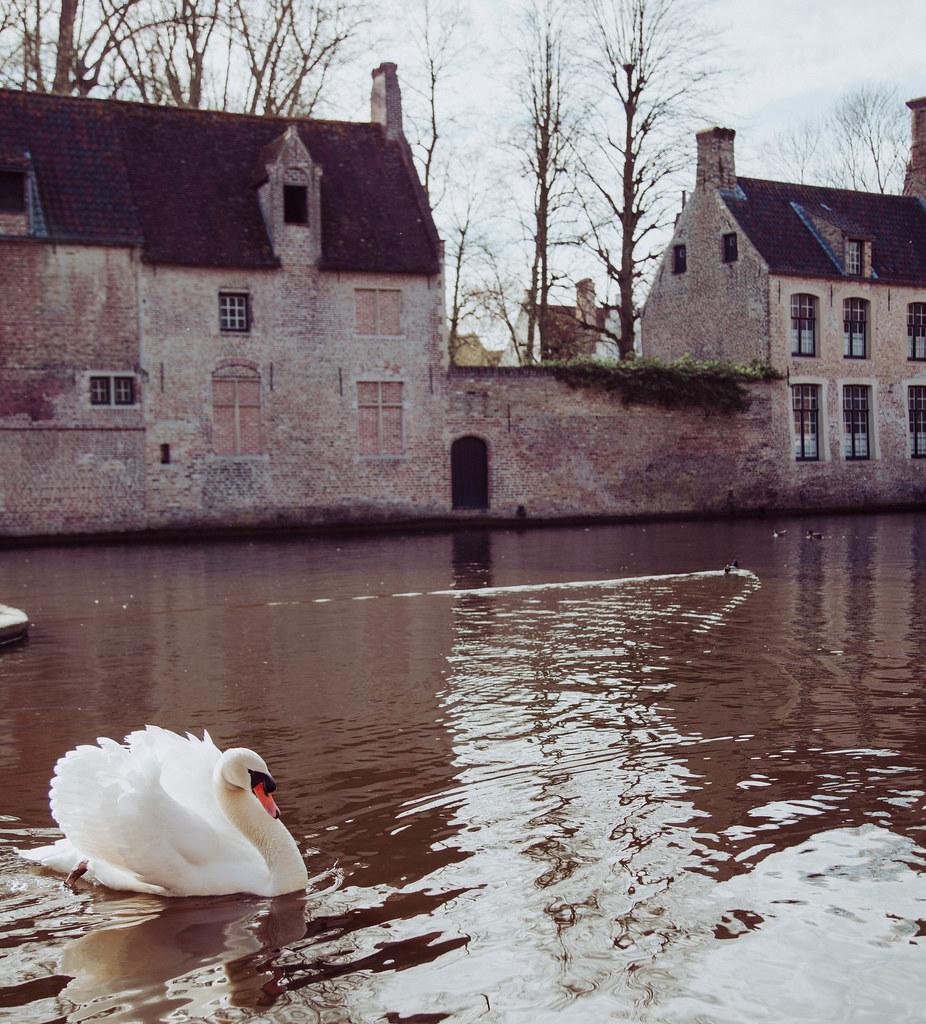 Bruges Belgium Swans