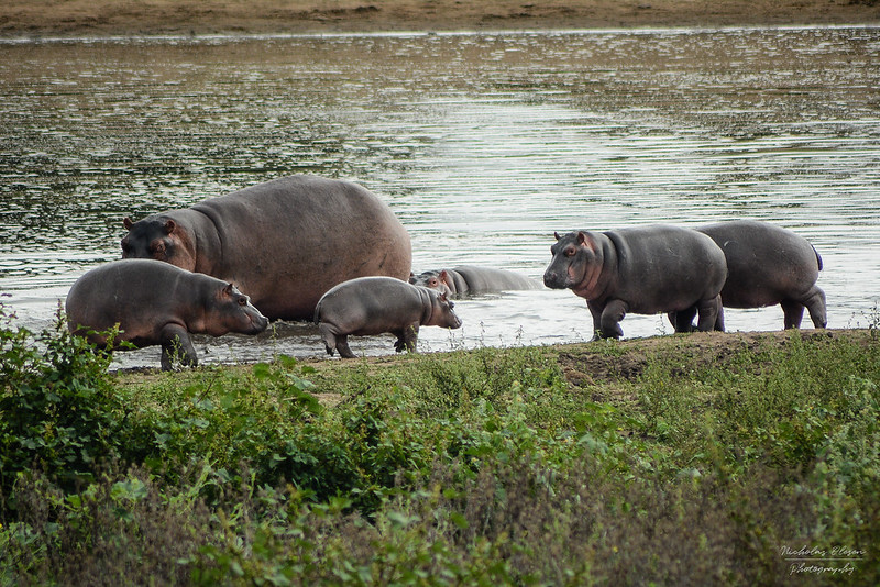 South Africa | Kruger National Park - Hippo Family