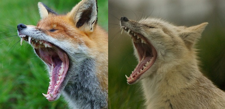 Red fox (left) and corsac fox (right) yawning. Photos taken on December 23, 2011.