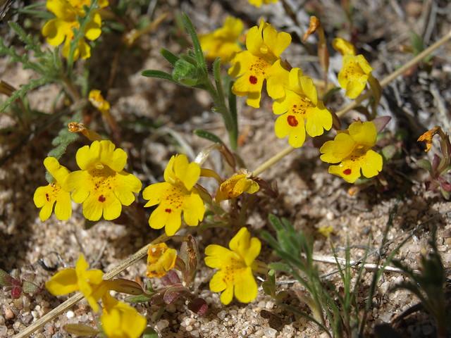Carson Valley monkeyflower, Erythranthe carsonensis