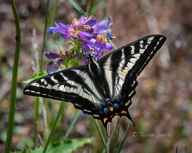 Pale Tiger Swallowtail 20180615_3608