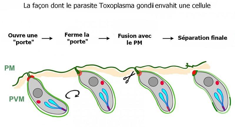 mécanisme-propagation