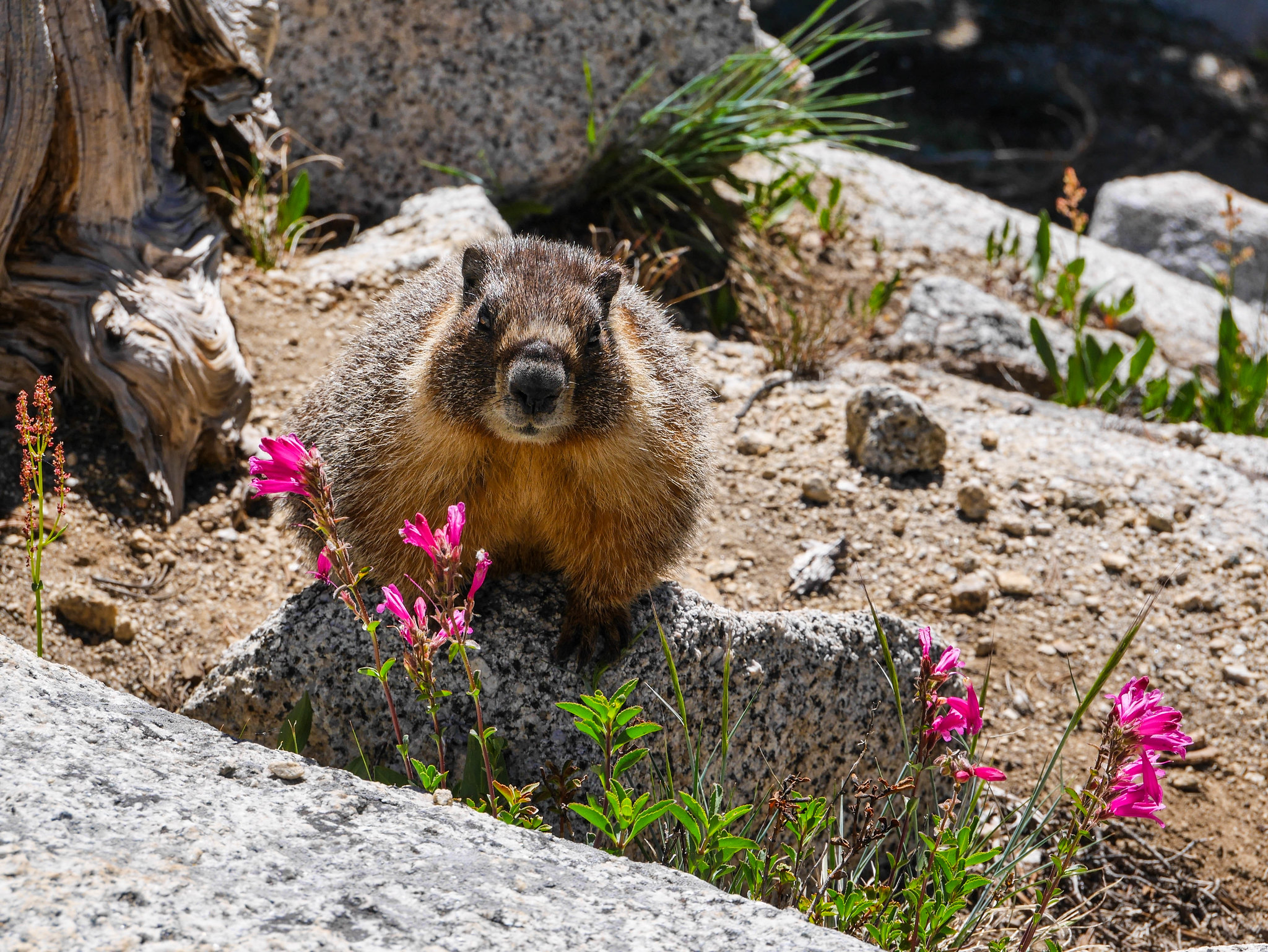 Marmot and Mountain Pride