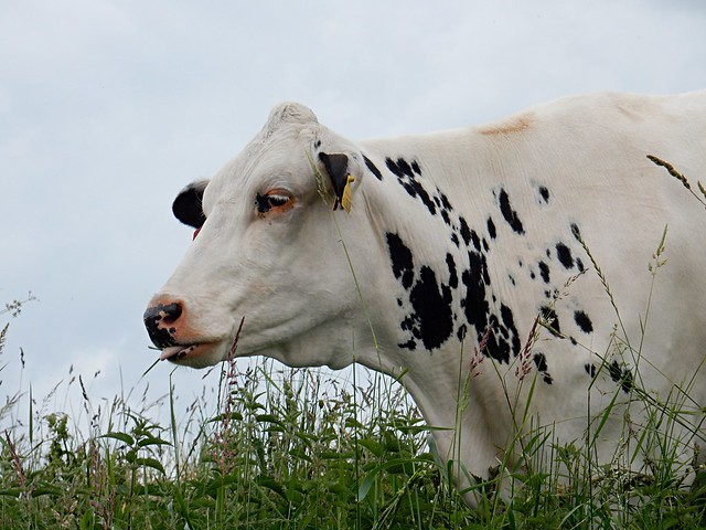 Bovine Beauty., Nikon COOLPIX S9700