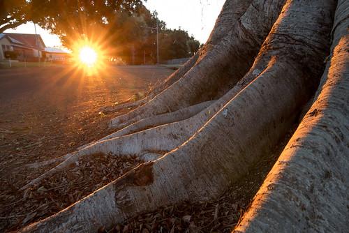 pentax k1 hdpentaxdfa1530mmf28 sunset sunburst tree fig roots sunlight orange dailyinjuly2018 pentaxart intothesun
