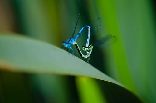 Common blue damselfly wheel