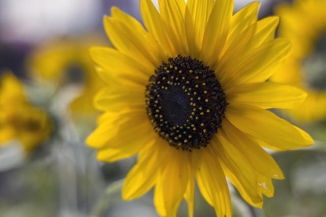 June 2 - Sunflower