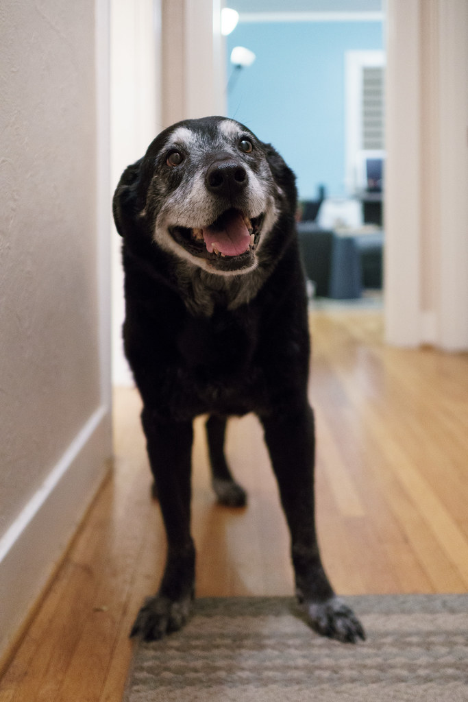 Our elderly black lab Ellie stands in the hallway of our house in Portland, Oregon