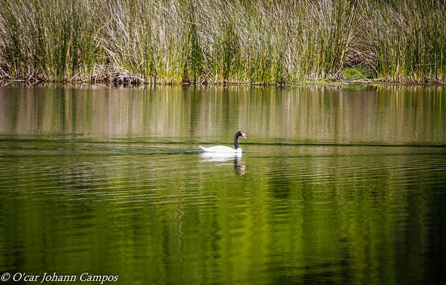 Cisne Cuello Negro - Black-necked swan