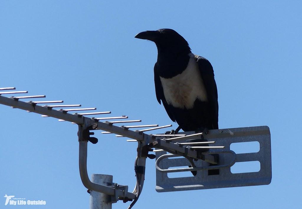 P1160090 - Pied Crow, Pembrokeshire