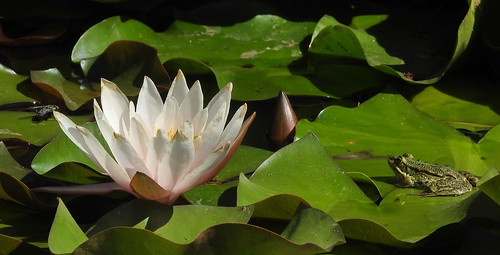 The Story Of The Fly, The Water lily And The Frog