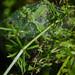 Nursery web (probably)