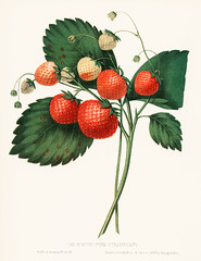 The Boston Pine Strawberry (1852) by Charles Hovey, a vintage illustration of fresh strawberries. Digitally enhanced from our own original plate.