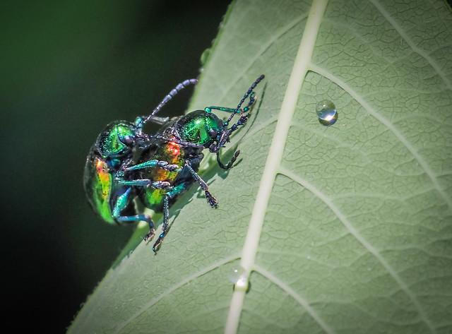 Dogbane Beetles on Host Plant