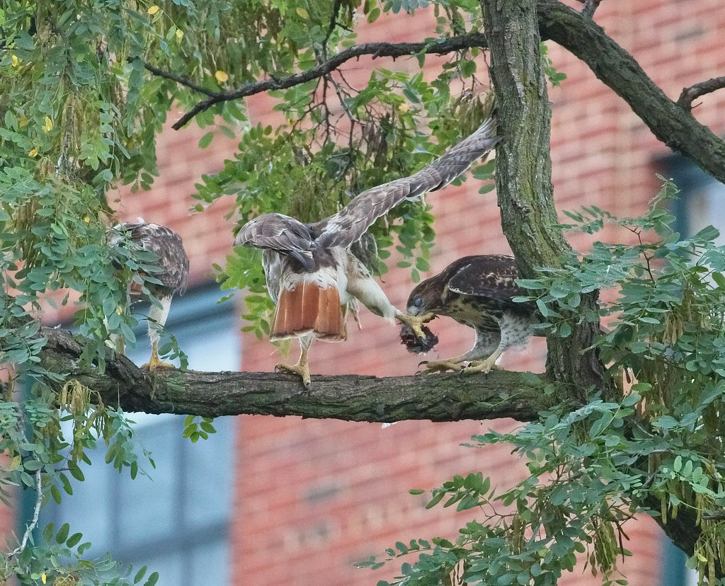 Fledgling takes prey from mom Amelia