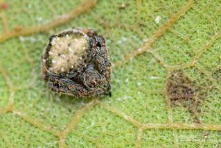 Orb weaver spider (Eriovixia sp.) - DSC_4207