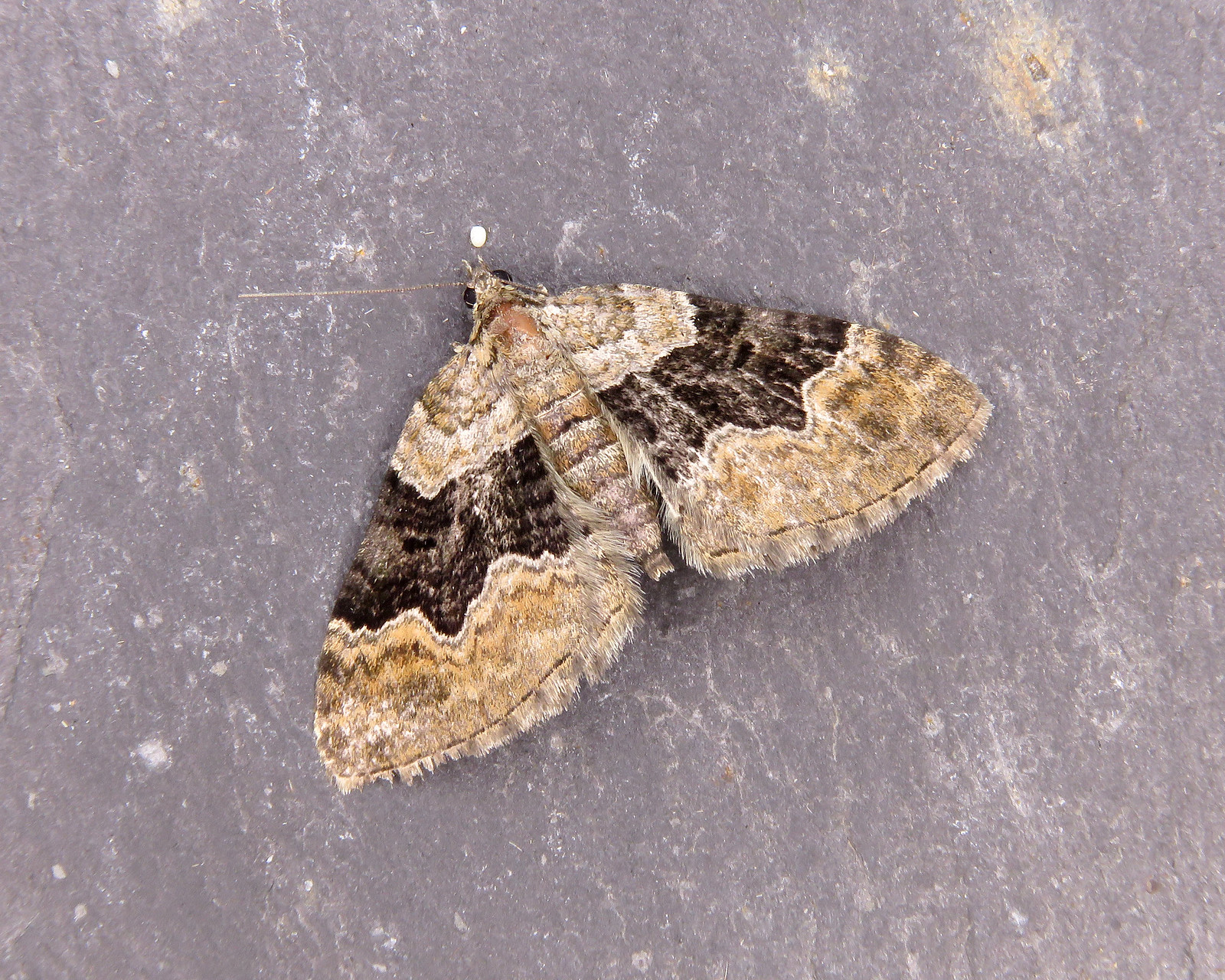 70.055 Large Twin-spot Carpet - Xanthorhoe quadrifasiata
