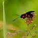 Six-spot Burnet (Zygaena filipendulae), Baggeridge, yesterday