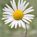 Wild Daisy.2