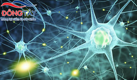 Thiên Ma có tác dụng tăng cường chức năng và làm chậm quá trình lão hóa của tế bào thần kinh