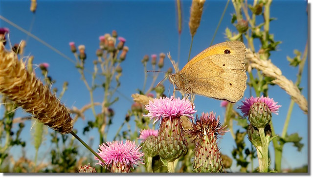 Meadow Brown butterfly, Canon POWERSHOT SX240 HS