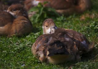 Juvenile Egyptian geese going to sleep