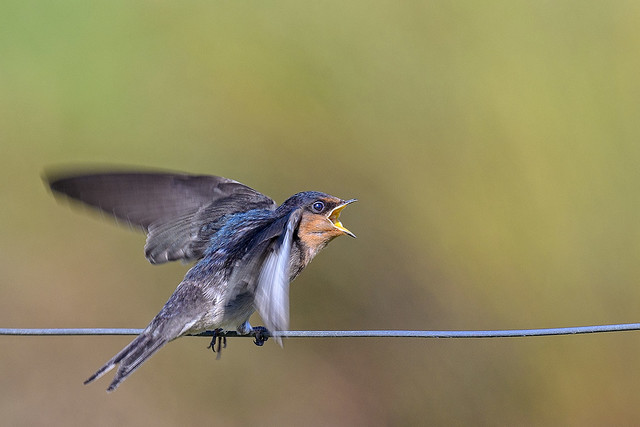 hungry wee welcome swallow #3