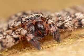 Flatty spider (Selenops sp.) - DSC_2731