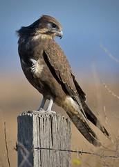 Brown Falcon-Portrait